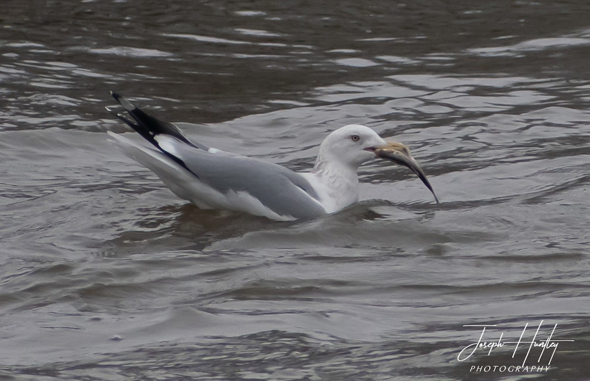Seagull-0535.jpg