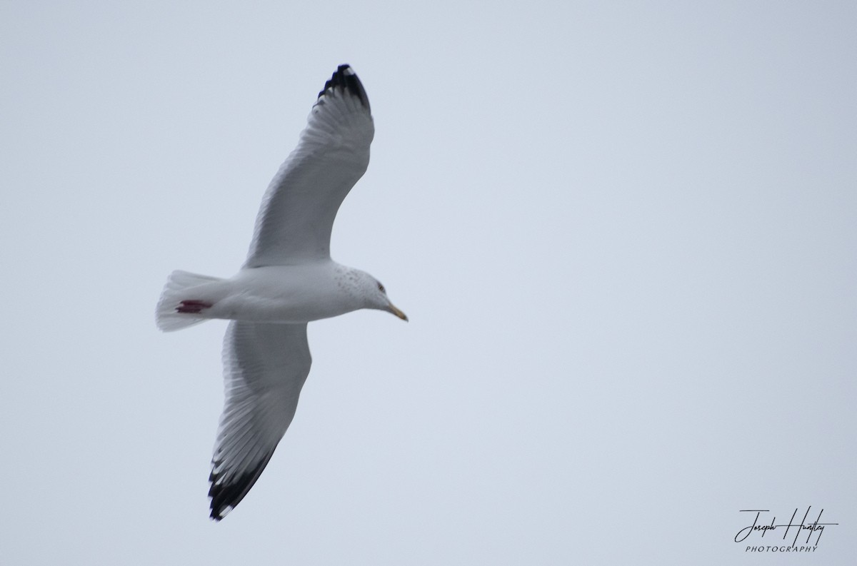 Seagull-0542.jpg