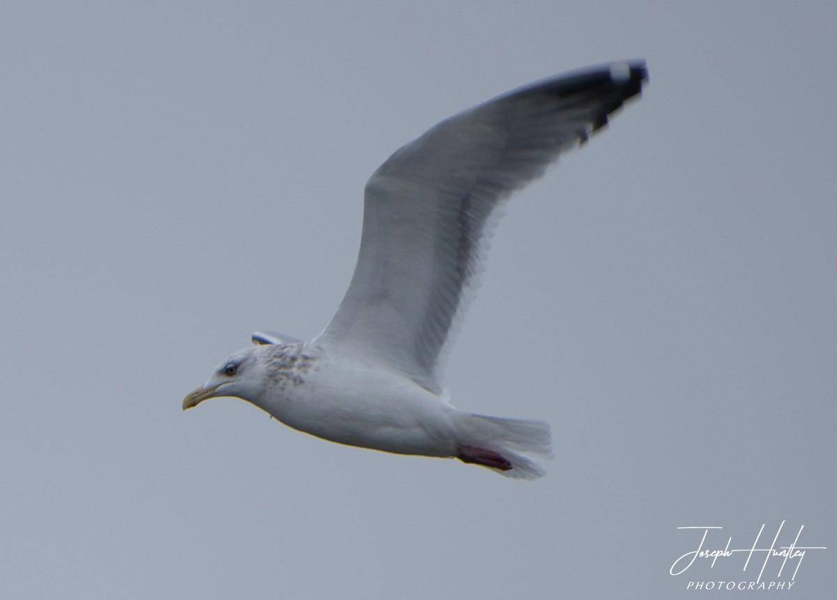 Seagull-0937.jpg