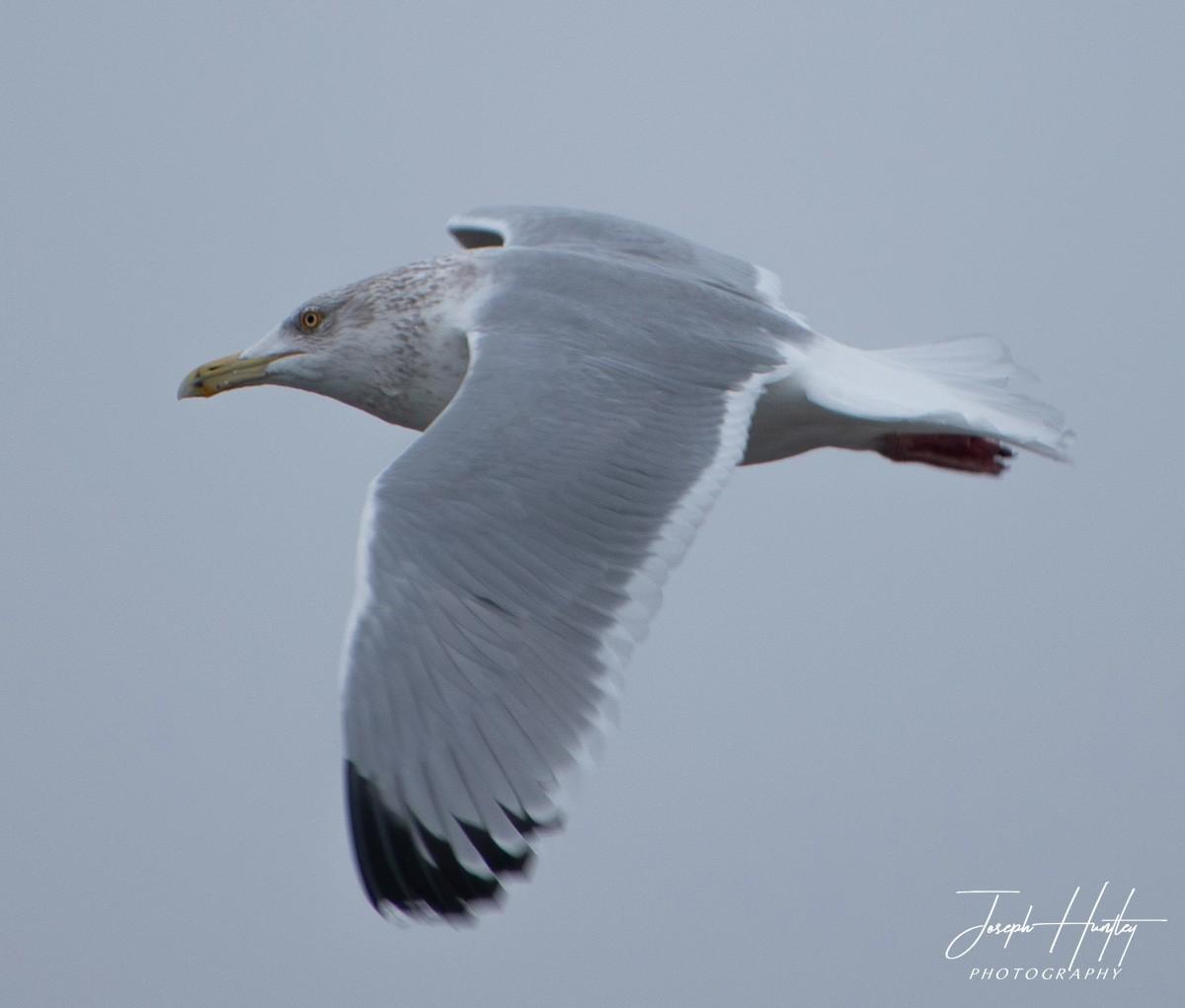 Seagull-0948.jpg