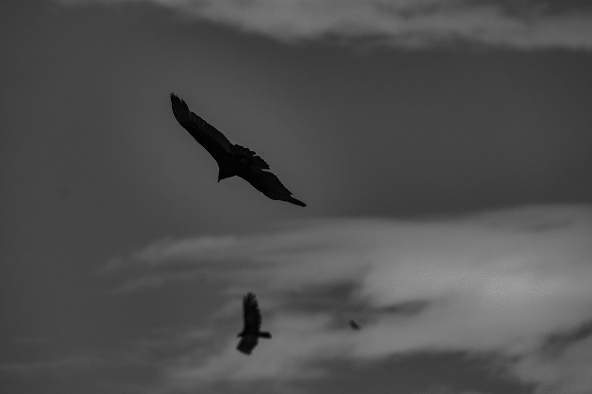 Silhouette Buzzards.jpg