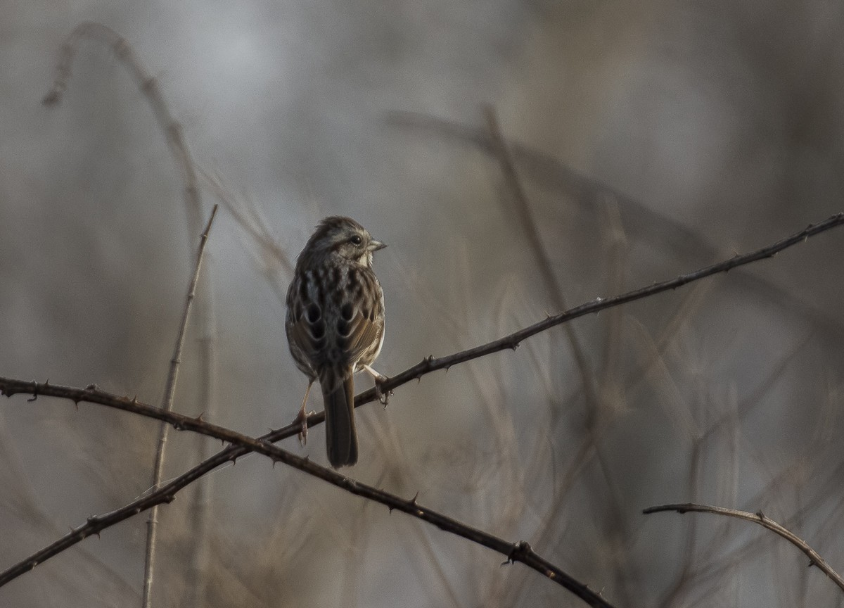 Singing Sparrow.JPG