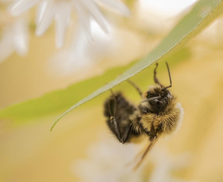 Sleepy Bumblebee.jpg