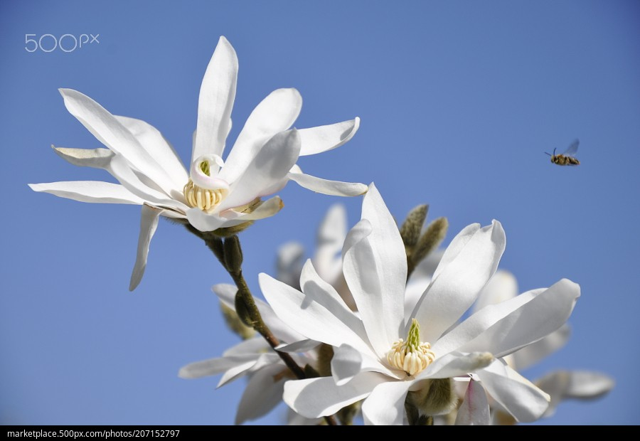 stock-photo-swirling-magnolia-and-bee-207152797.jpg