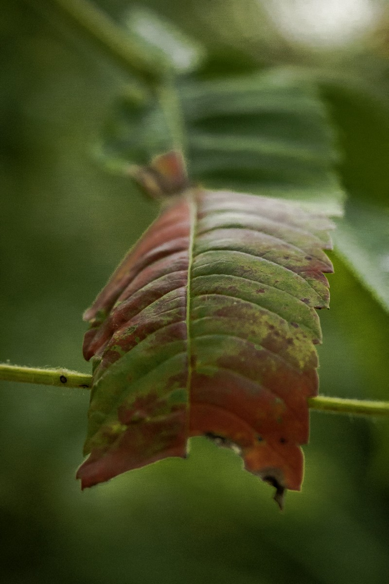 Sumac Leaf.jpg