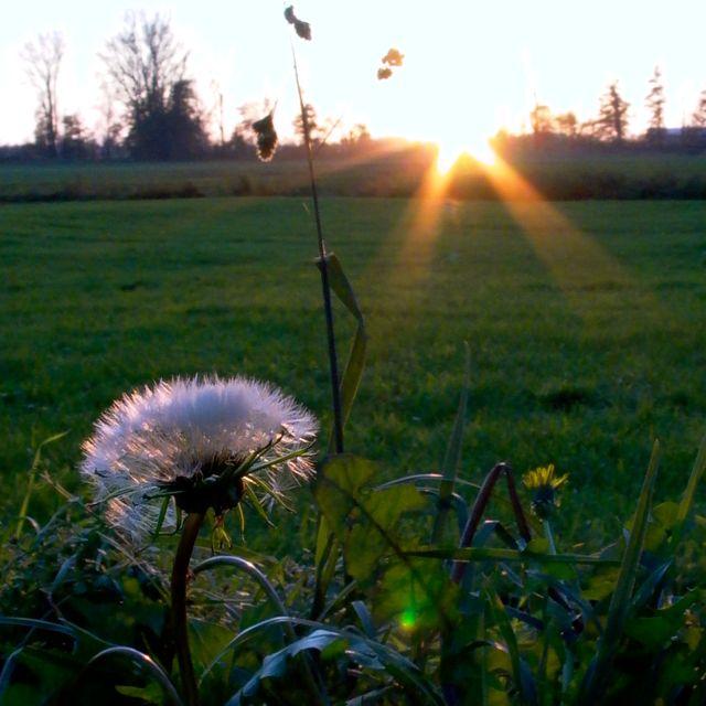 sunset with dandelion.jpg