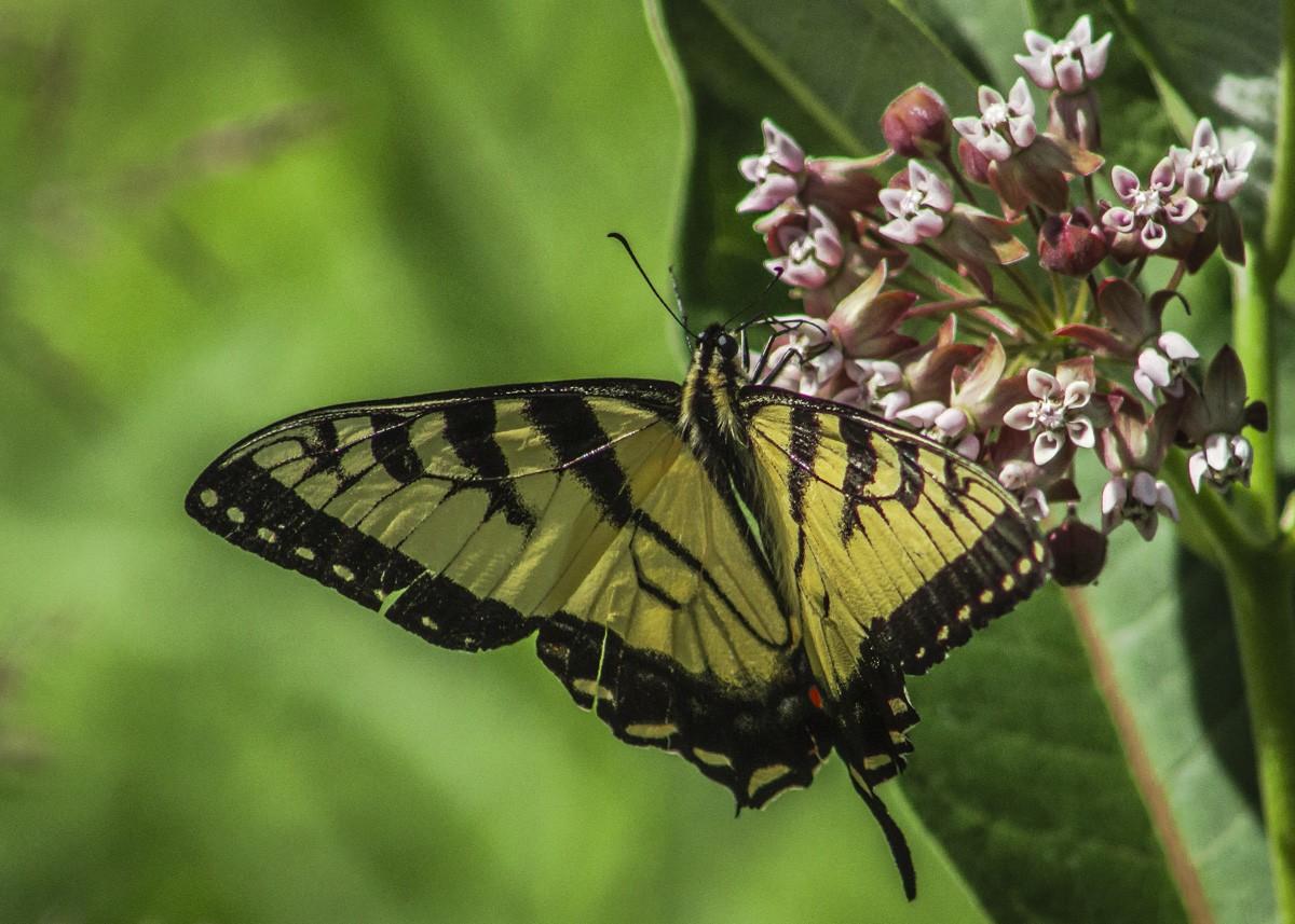 Swallowtail on Milkweed.jpg
