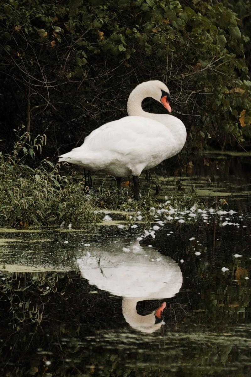 swan fm.jpg