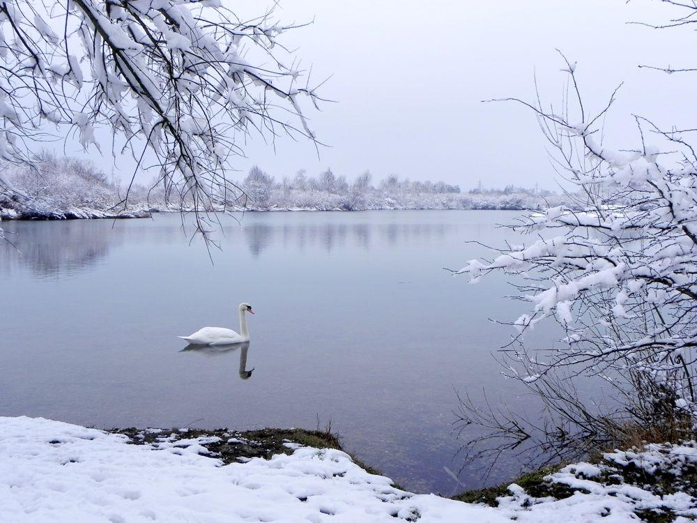 swan on lake.jpg