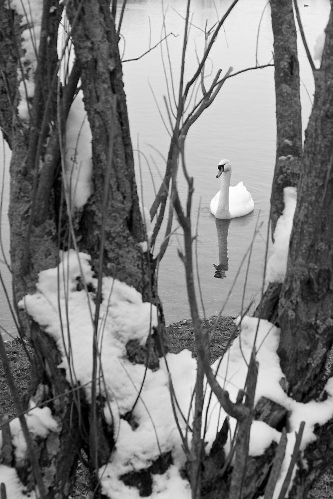 swan on thostisee mono 2.jpg