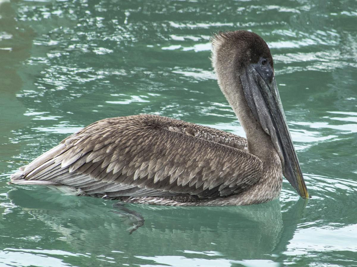 Swimming Brown Pelican 2.jpg