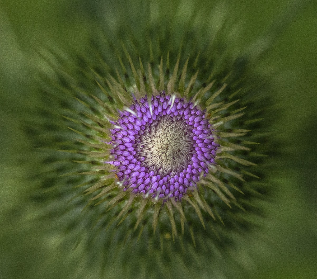 Thistle Abstract.jpg