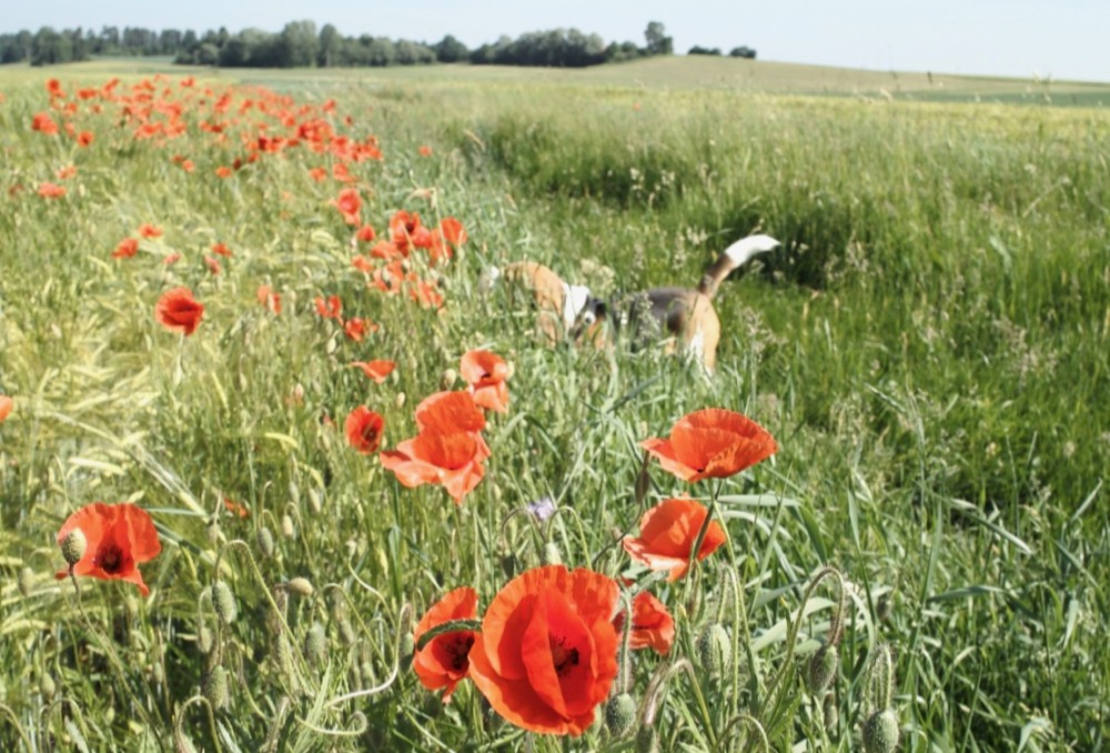 toby and poppies - 1.jpg