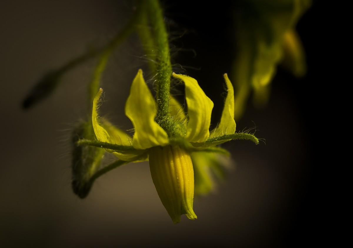 Tomato Bloom.jpg