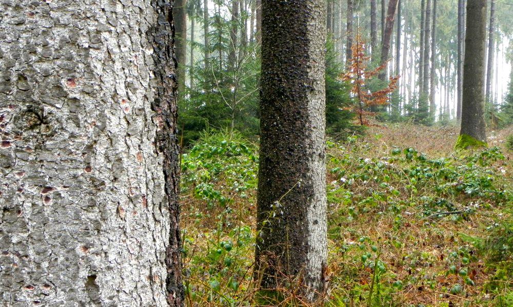 trees in Heilachwald.jpg