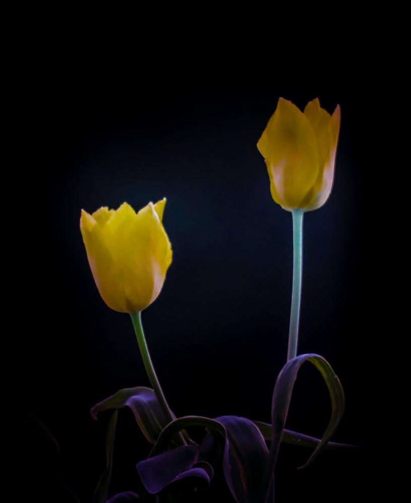 Tulip 1 (1 of 1).jpg