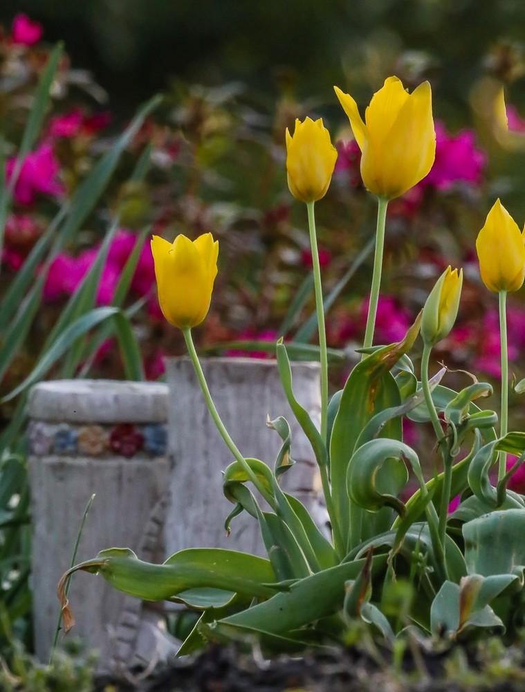 Tulip 3 (1 of 1).jpg