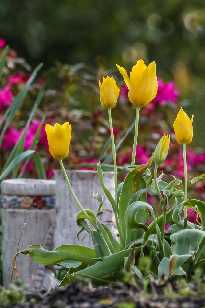Tulip 4 (1 of 1).jpg