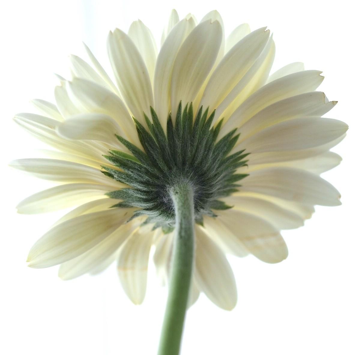 White Daisy.jpg