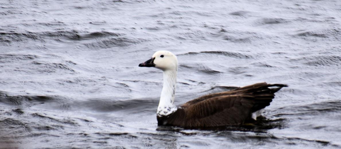 white goose0690.jpg