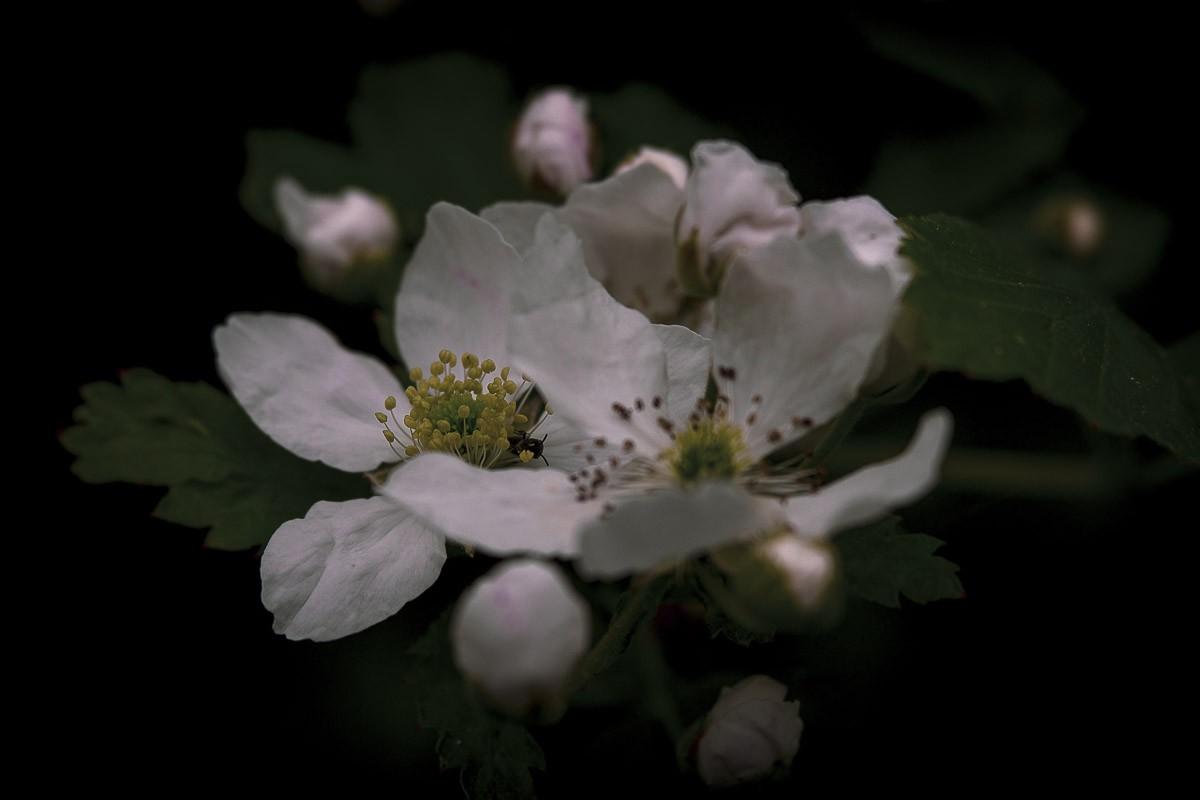Wild Blackberry Bloom.jpg
