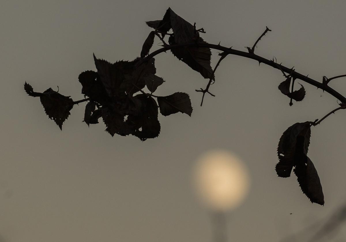 Wild Rose in Twilight.JPG