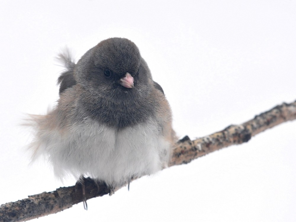 Windy Day Dark Eyed Junco.jpg