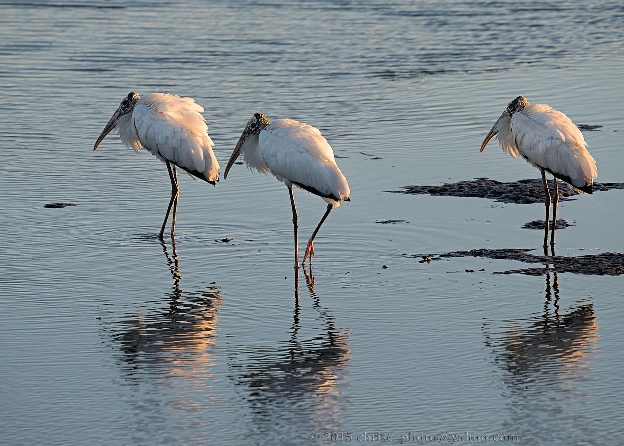 Wood-Storks.jpg