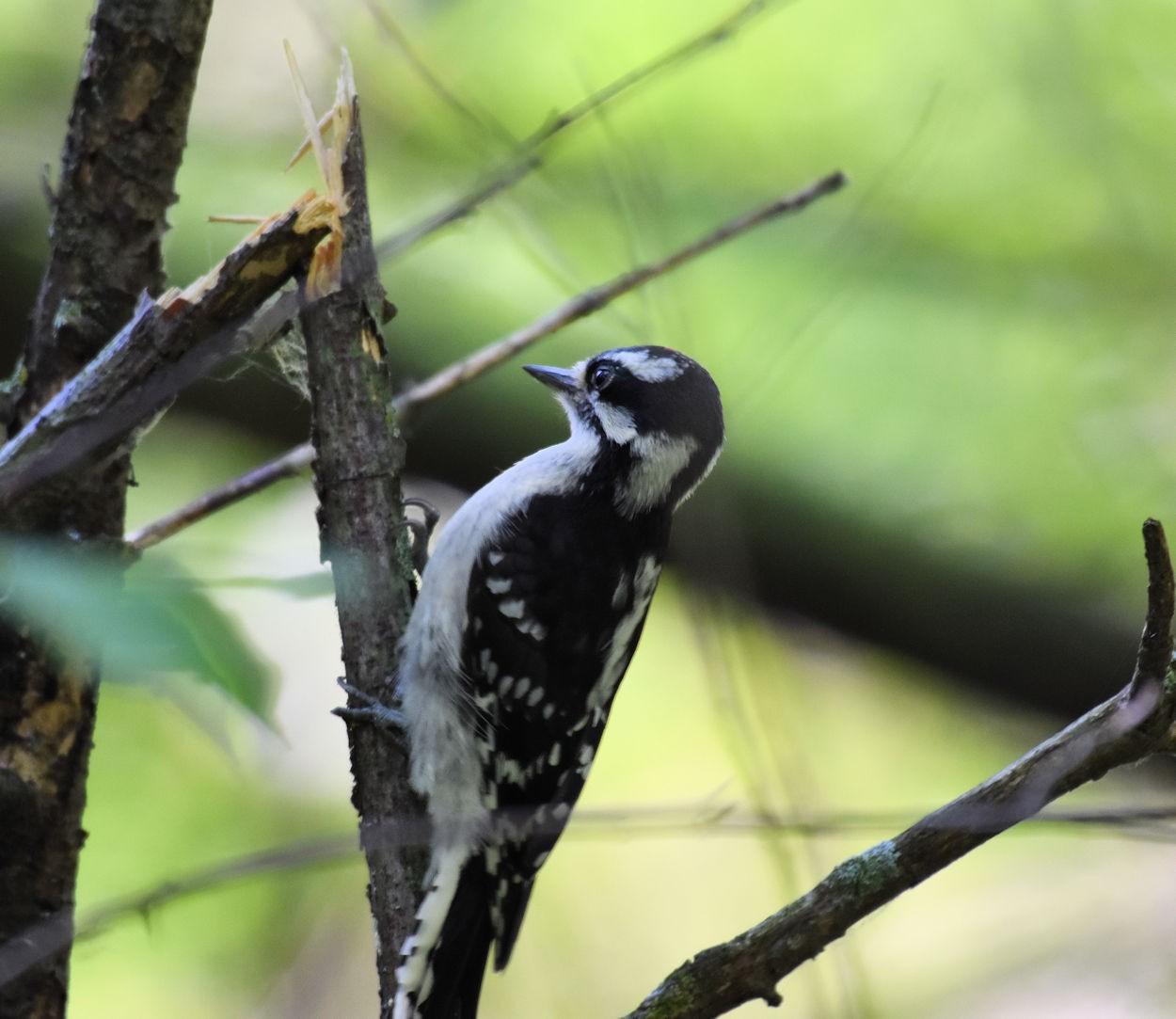 woodpecker2550.jpg