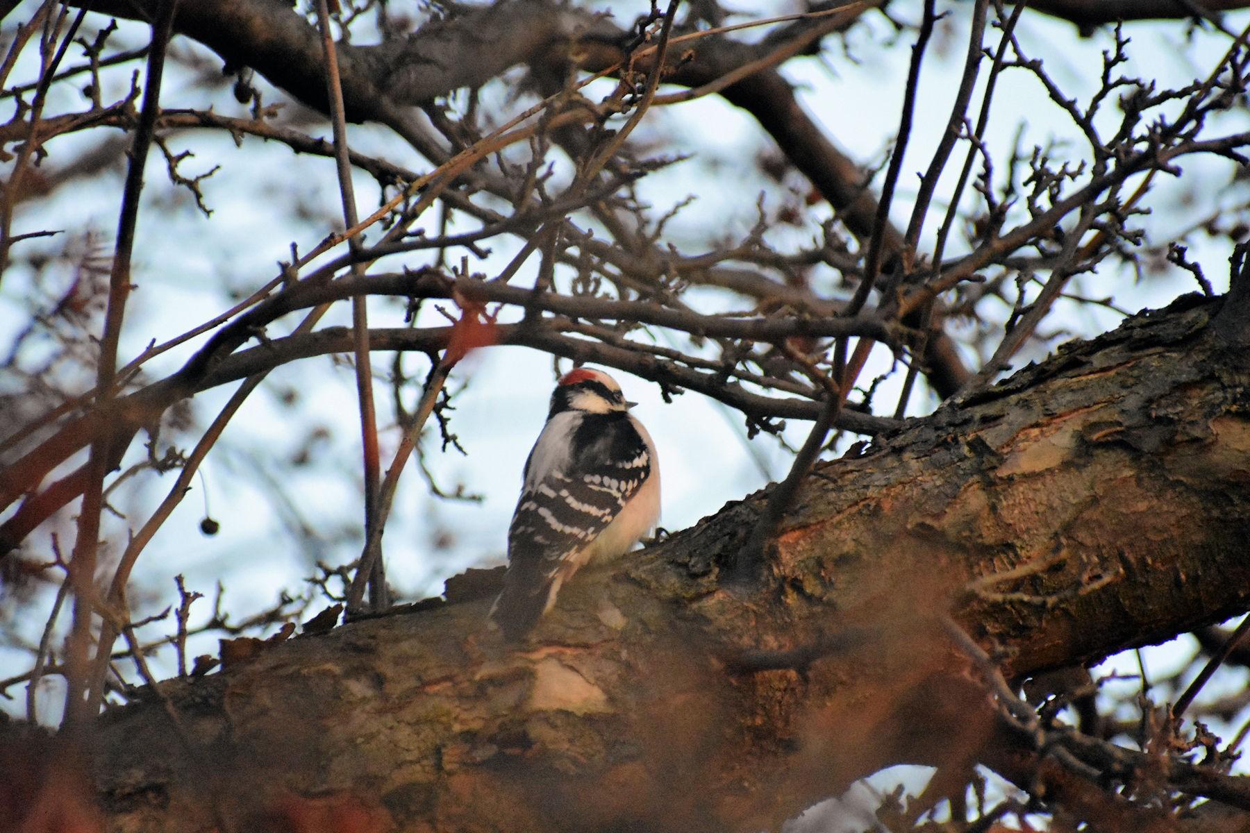 woodpeckerDSC_0542.jpg