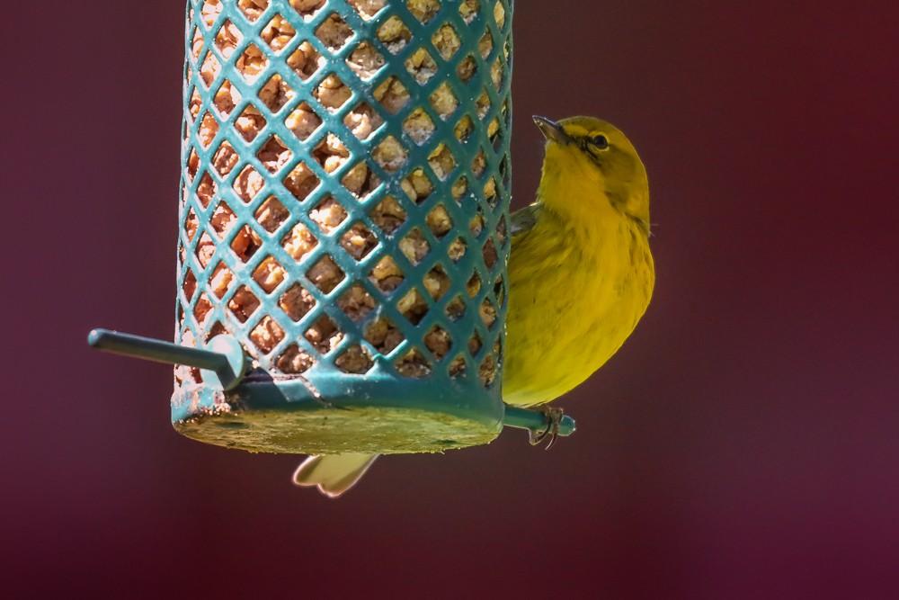 Yellow Bird 3 (1 of 1).jpg
