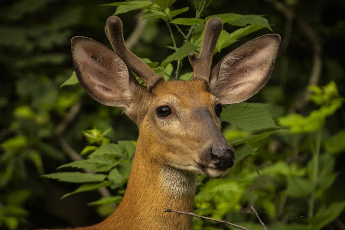 Young Buck Portrait.jpg
