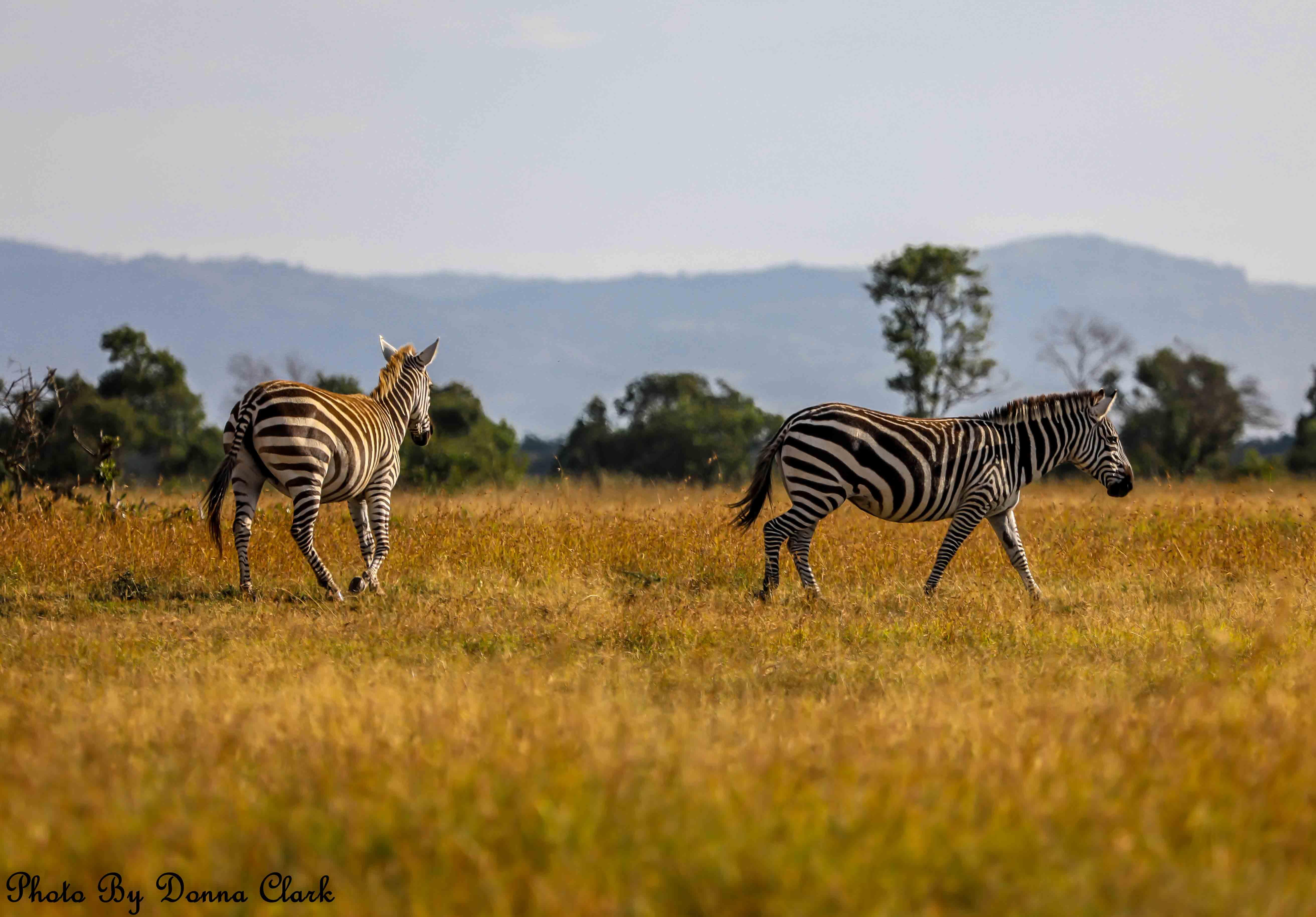 Zebra 1 (1 of 1).jpg