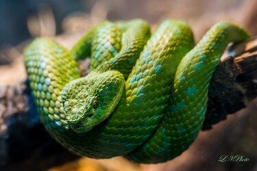 $Snake resized45.jpg