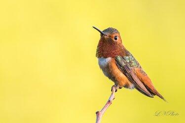 $Hummingbird-1 resized.jpg