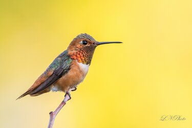 $Hummingbird-2 resized.jpg