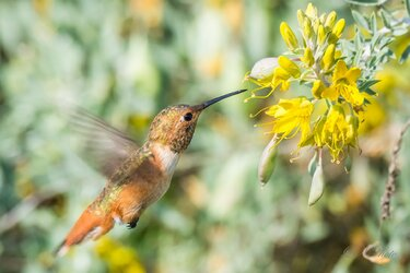 $Hummingbird-3 resized.jpg