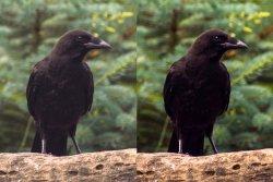 $crow2.jpg