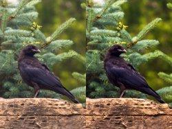 $crow1.jpg