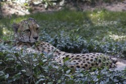 $Cheetah.jpg