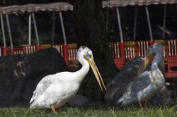 $Pelicans.jpg