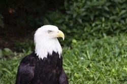 $Bald Eagle.jpg