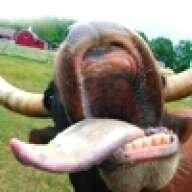 molested_cow
