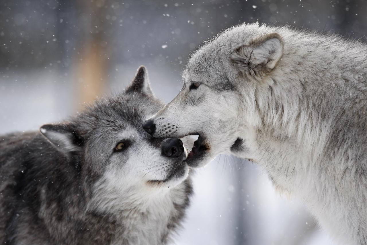 Картинки волчицы с надписью, доброе утро