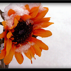 Snow And The Sunflower