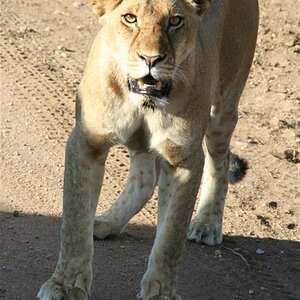 Lioness eyecontact