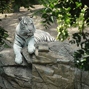 White Tiger Bliss