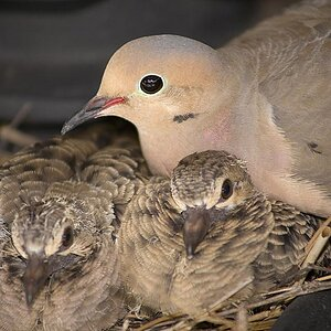 Dove and babies