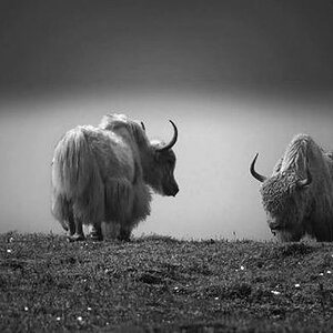 Yaks gazing Canvas Photo From Photostop